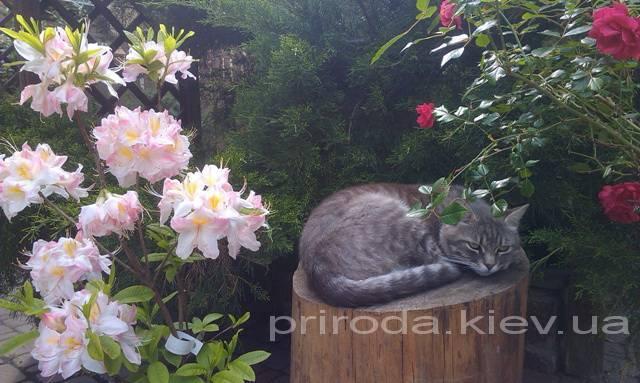 Азалия садовая крупноцветковая / Рододендрон листопадный Сатоми (Rododendron Satomi) ФОТО Питомник растений Природа Priroda (28)