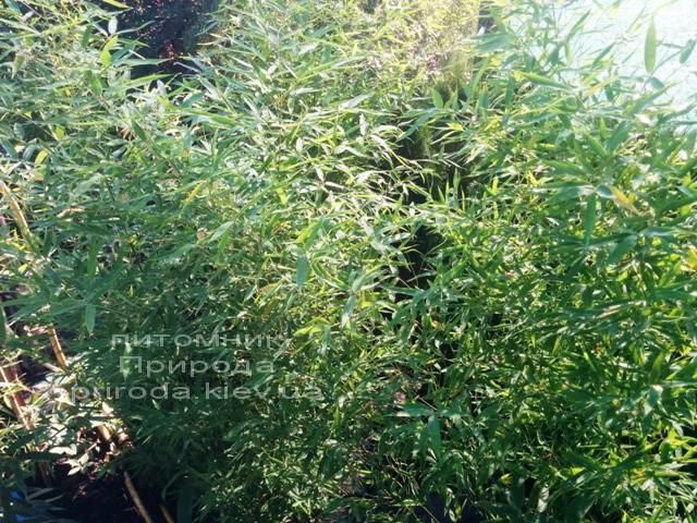 Бамбук (Phyllostachys aureosulcata) ФОТО Розплідник рослин Природа (1)