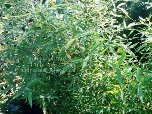 Бамбук / Листоколосник золотистожелобчатый (Phyllostachys aureosulcata) ФОТО Питомник растений Природа Priroda (2)