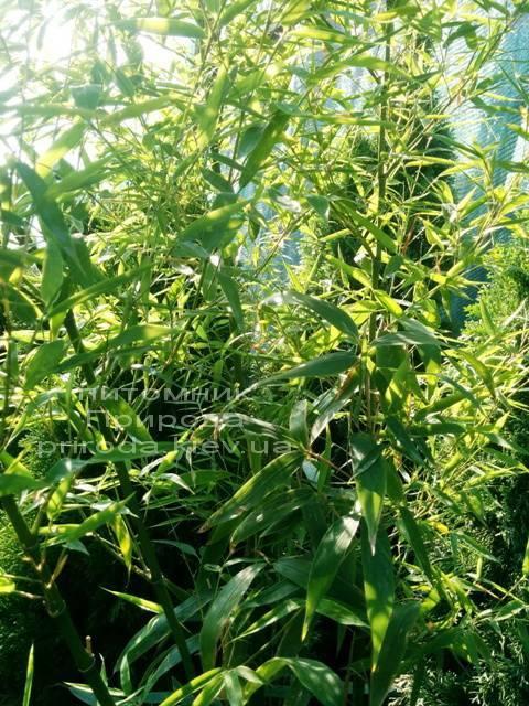 Бамбук (Phyllostachys aureosulcata) ФОТО Розплідник рослин Природа (3)