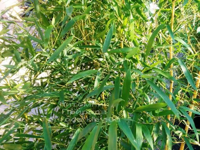 Бамбук (Phyllostachys aureosulcata) ФОТО Розплідник рослин Природа (7)