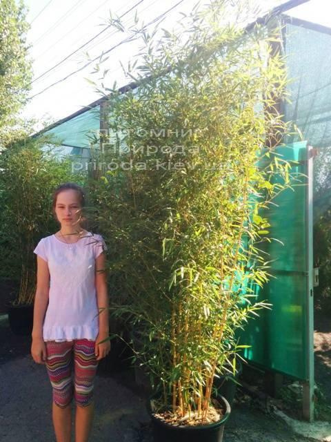 Бамбук (Phyllostachys aureosulcata) ФОТО Розплідник рослин Природа (8)