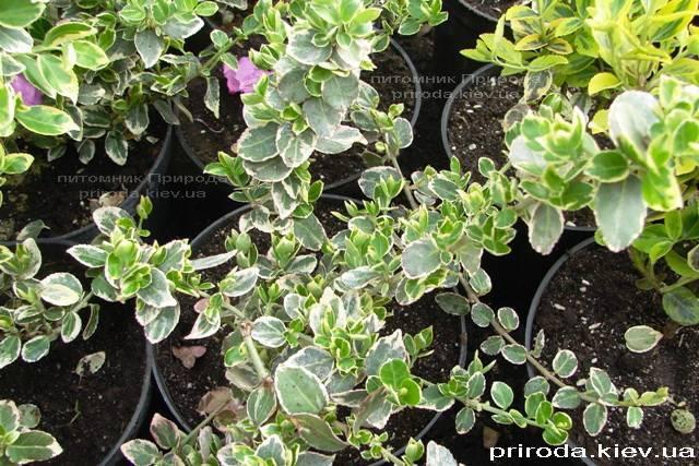 Бересклет Форчун (Euonymus fortunei) ФОТО Розплідник рослин Природа Priroda (1)