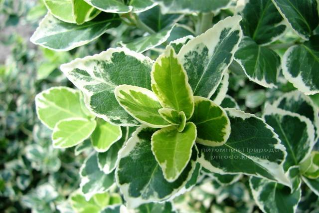 Бересклет Форчун (Euonymus fortunei) ФОТО Розплідник рослин Природа Priroda (10)