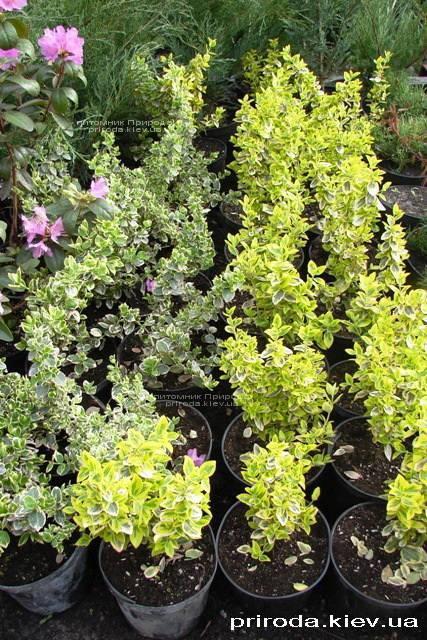 Бересклет Форчун (Euonymus fortunei) ФОТО Розплідник рослин Природа Priroda (2)