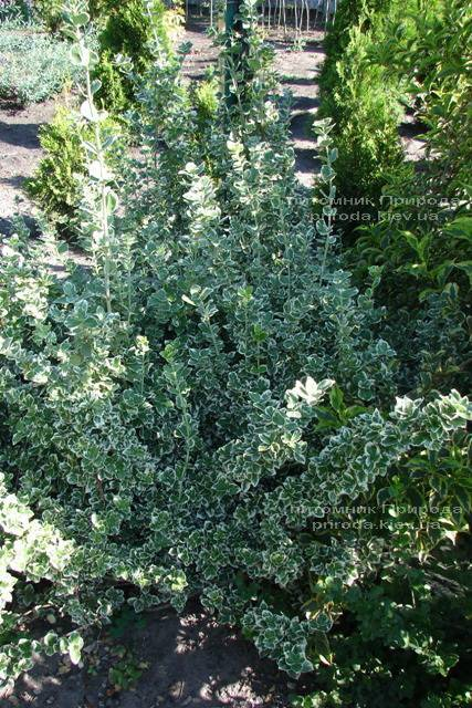 Бересклет Форчуна (Euonymus fortunei) ФОТО Питомник растений Природа Priroda (3)