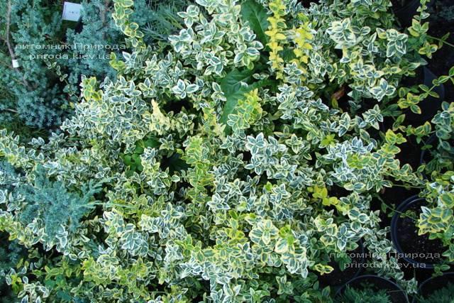 Бересклет Форчун (Euonymus fortunei) ФОТО Розплідник рослин Природа Priroda (4)