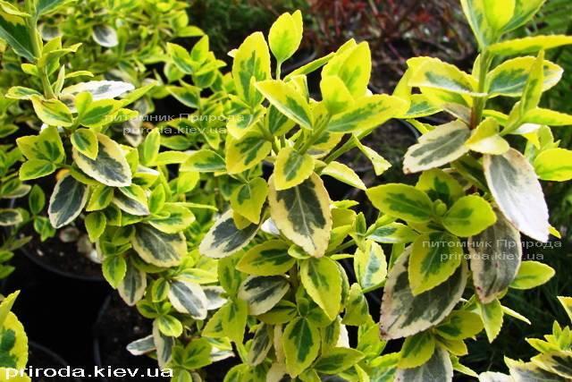 Бересклет Форчун (Euonymus fortunei) ФОТО Розплідник рослин Природа Priroda (7)