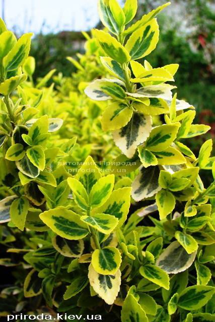 Бересклет Форчун (Euonymus fortunei) ФОТО Розплідник рослин Природа Priroda (8)