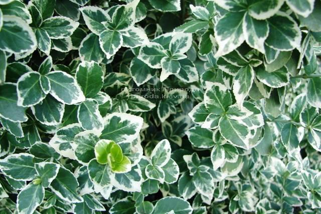 Бересклет Форчуна (Euonymus fortunei) ФОТО Питомник растений Природа Priroda (9)