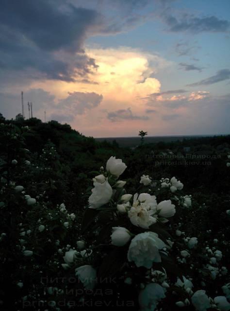 Чубушник венечный / Жасмин садовый (Philadelphus coronarius) ФОТО Питомник растений Природа Priroda (1)