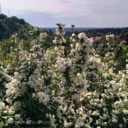 Бузок вінцевий / Жасмин садовий (Philadelphus coronarius) ФОТО Розплідник рослин Природа Priroda (6)
