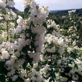 Бузок вінцевий / Жасмин садовий (Philadelphus coronarius) ФОТО Розплідник рослин Природа Priroda (14)