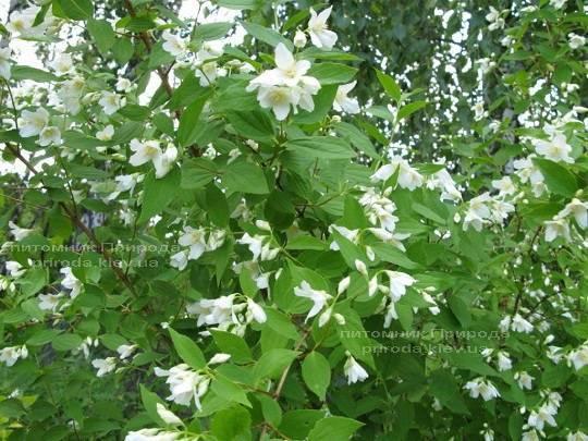 Чубушник земляничный / Жасмин садовый (Philadelphus) ФОТО Питомник растений Природа Priroda (16)