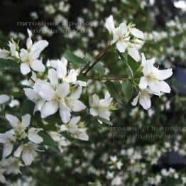 Бузок суничний / Жасмин садовий (Philadelphus) ФОТО Розплідник рослин Природа Priroda (17)