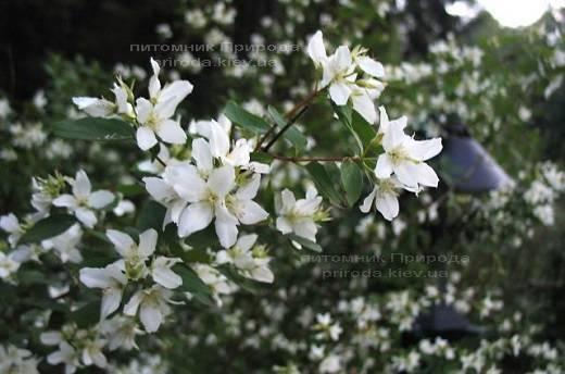 Чубушник земляничный / Жасмин садовый (Philadelphus) ФОТО Питомник растений Природа Priroda (17)