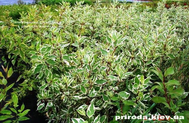 Дерен белый Элегантиссима (Cornus alba Elegantissima) ФОТО Питомник растений Природа Priroda (1)