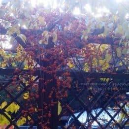 Древогубец круглолистый (Celastrus orbiculatus) ФОТО Питомник растений Природа Priroda