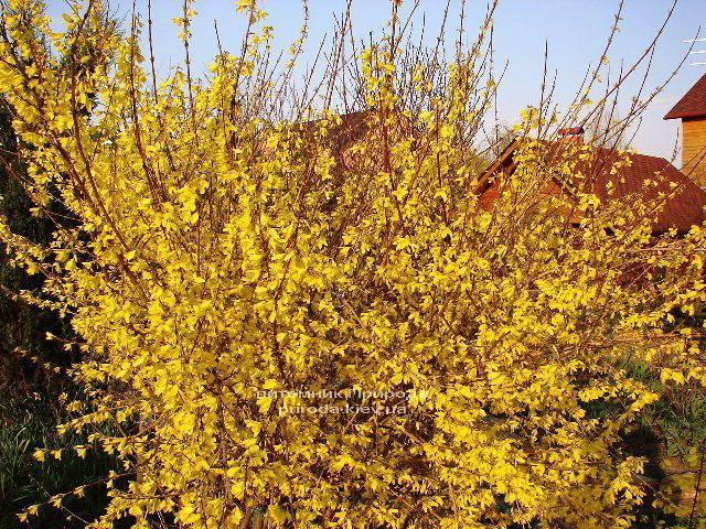 Форзиция промежуточная (Forsythia intermedia) ФОТО Питомник растений Природа Priroda (2)