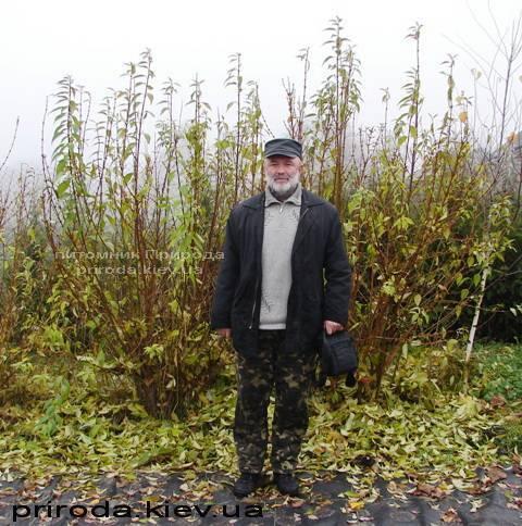 Форзиция промежуточная (Forsythia intermedia) ФОТО Питомник растений Природа Priroda (4)