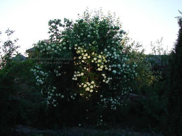 Калина звичайна Розеум / Бульденеж / Білий м'яч (Viburnum opulus Roseum) ФОТО Розплідник рослин Природа Priroda (1)