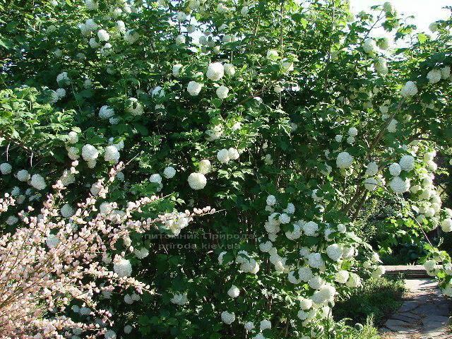 Калина звичайна Розеум / Бульденеж / Білий м'яч (Viburnum opulus Roseum) ФОТО Розплідник рослин Природа Priroda (2)