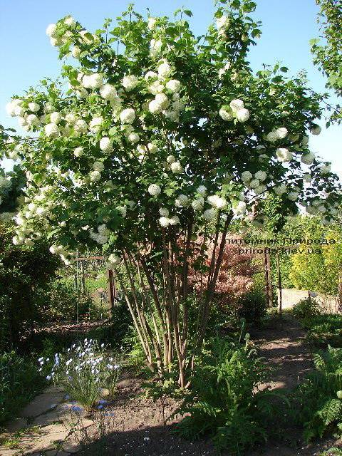 Калина звичайна Розеум / Бульденеж / Білий м'яч (Viburnum opulus Roseum) ФОТО Розплідник рослин Природа Priroda (3)