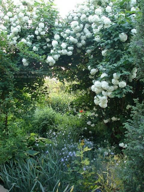 Калина звичайна Розеум / Бульденеж / Білий м'яч (Viburnum opulus Roseum) ФОТО Розплідник рослин Природа Priroda (5)