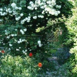 Калина звичайна Розеум / Бульденеж / Білий м'яч (Viburnum opulus Roseum) ФОТО Розплідник рослин Природа Priroda (6)