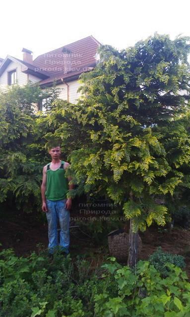 Кипарисовик Лавсона Стардаст (Chamaecyparis lawsoniana Stardust) ФОТО Питомник растений Природа Priroda (17)