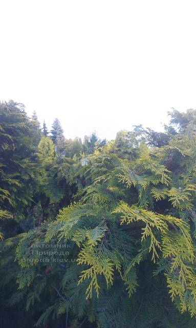 Кипарисовик Лавсона Стардаст (Chamaecyparis lawsoniana Stardust) ФОТО Питомник растений Природа Priroda (18)