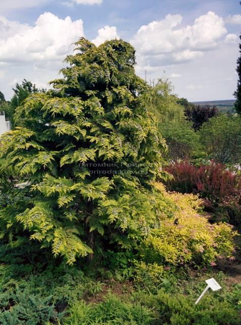 Кипарисовик Лавсона Стардаст (Chamaecyparis lawsoniana Stardust) ФОТО Питомник растений Природа Priroda (19)