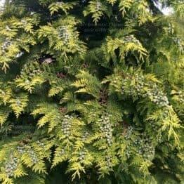 Кипарисовик Лавсона Стардаст (Chamaecyparis lawsoniana Stardust) ФОТО Питомник растений Природа Priroda (20)