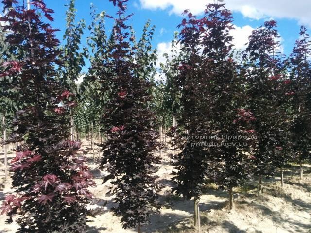 Клён остролистный Кримсон Сентри (Acer platanoides Crimson Sentry) ФОТО Питомник растений Природа Priroda (19)