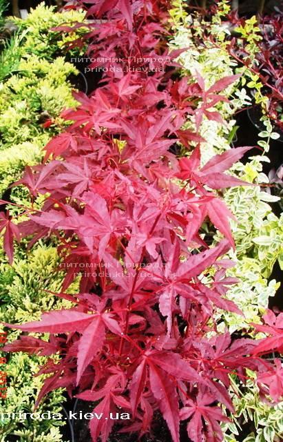 Клен віяловий пальмолістний Атропурпуреум (Acer palmatum Atropurpureum) ФОТО Розплідник рослин Природа (21)