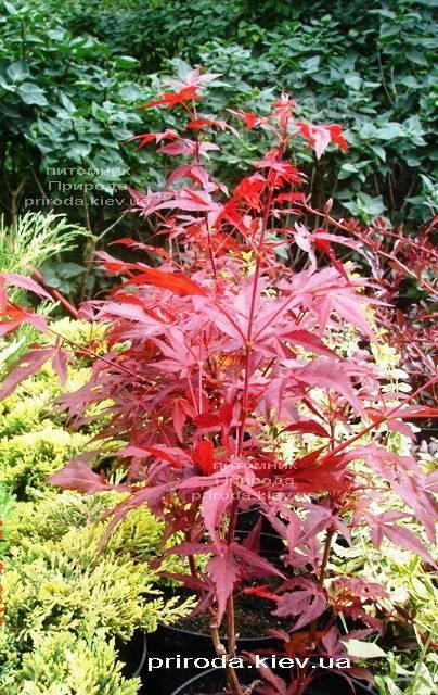 Клен віяловий пальмолістний Атропурпуреум (Acer palmatum Atropurpureum) ФОТО Розплідник рослин Природа (22)