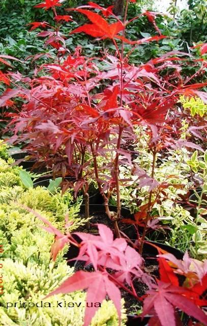 Клен віяловий пальмолістний Атропурпуреум (Acer palmatum Atropurpureum) ФОТО Розплідник рослин Природа (24)