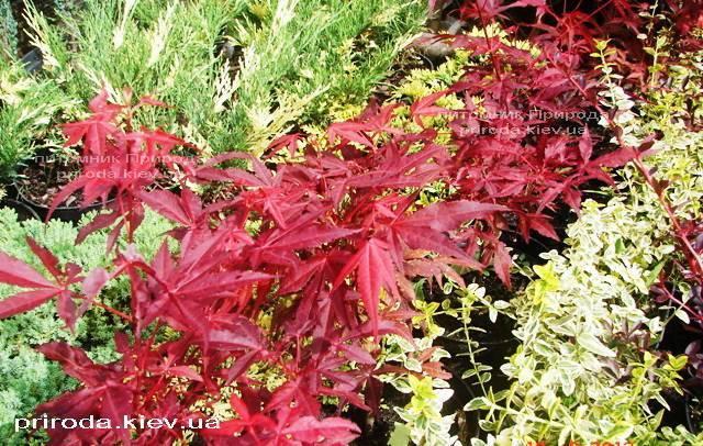 Клен віяловий пальмолістний Атропурпуреум (Acer palmatum Atropurpureum) ФОТО Розплідник рослин Природа (23)