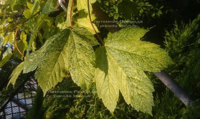 Клён псевдоплатановый Леопольди/Leopoldii (Acer pseudoplatanus Leopoldii) ФОТО Питомник растений Природа Priroda (2)