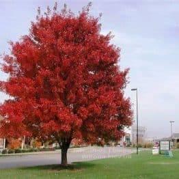 Клен красный (Acer rubrum) ФОТО Питомник растений Природа Priroda (6)
