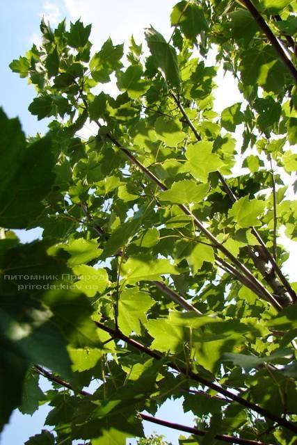 Клен красный (Acer rubrum) ФОТО Питомник растений Природа Priroda (8)