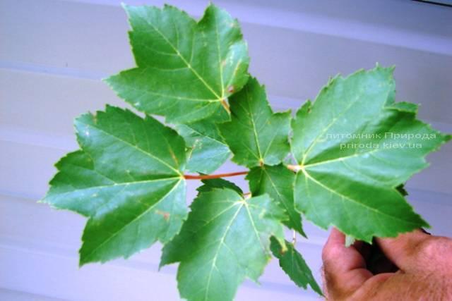 Клен красный (Acer rubrum) ФОТО Питомник растений Природа Priroda (9)