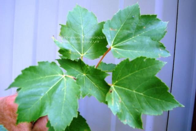 Клен червоний (Acer rubrum) ФОТО Розплідник рослин Природа Priroda (10)
