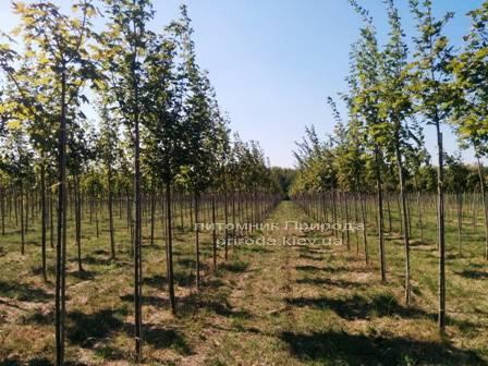 Клен остролистный (Acer platanoides) ФОТО Питомник растений Природа Priroda (11)