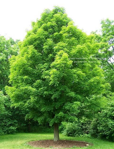 Клен остролистный (Acer platanoides) ФОТО Питомник растений Природа Priroda (13)