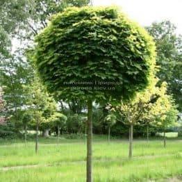 Клен гостролистий кулястий Глобозум (Acer platanoides Globosum) на штамбі ФОТО Розплідник рослин Природа Priroda (26)