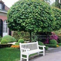Клен гостролистий кулястий Глобозум (Acer platanoides Globosum) на штамбі ФОТО Розплідник рослин Природа Priroda (34)