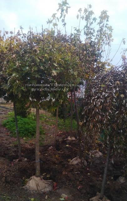 Клен остролистный шаровидный Глобозум (Acer platanoides Globosum) на штамбе ФОТО Питомник растений Природа Priroda (36)