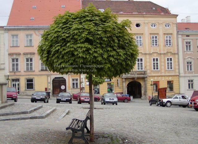 Клен гостролистий кулястий Глобозум (Acer platanoides Globosum) на штамбі ФОТО Розплідник рослин Природа Priroda (27)