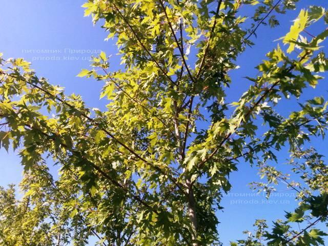 Клен сріблястий (Acer saccharinum) ФОТО Розплідник рослин Природа Priroda (16)